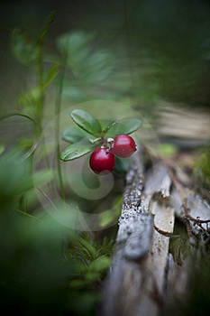 Lingonberries Stock Images - Image: 15573194