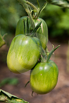 Organically Grown Tomatoes Royalty Free Stock Photography - Image: 15578067