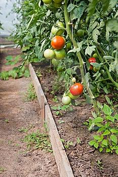 Organically Grown Tomatoes Stock Image - Image: 15578101