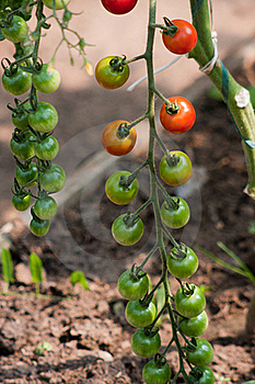 Organically Grown Cherry Tomatoes Royalty Free Stock Photography - Image: 15579487