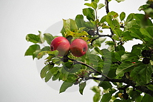 Red Apples Royalty Free Stock Image - Image: 15580426