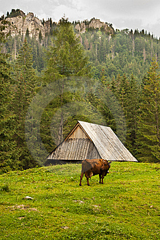 Alpin Cow In The Mountains Royalty Free Stock Photos - Image: 15590898