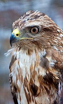 Beautiful Hawk Royalty Free Stock Photos - Image: 15596848