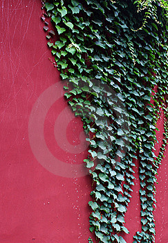 Green Ivy Royalty Free Stock Image - Image: 15598176