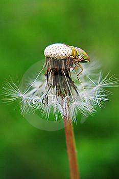 Stink Bug On Seed Head Stock Photo - Image: 15598660