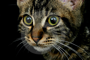 Feline Look Stock Image - Image: 1560091