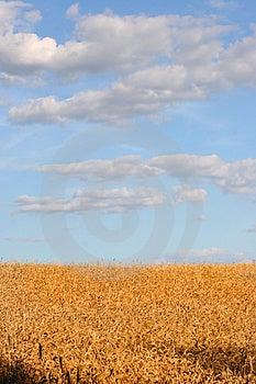 Giacimento di grano Fotografie Stock Libere da Diritti