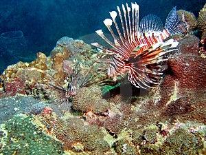 Lionfish Habita...