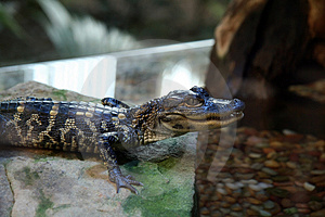 Captive Baby Alligator Stock Images - Image: 1565404