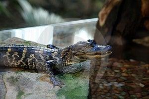 Captive Baby Alligator Stock Images - Image: 1565404