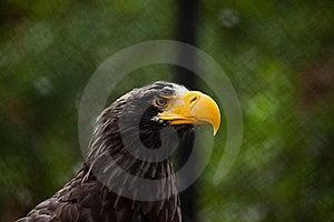Bald Eagle Stock Image - Image: 15602851