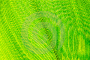 Green Leaf With Veins, Close Up Stock Photography - Image: 15608852