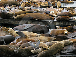 Sea Lions Stock Images - Image: 15609004