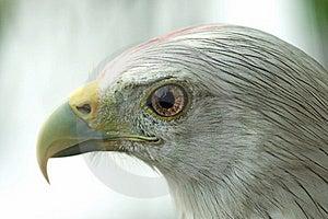 Hawk Royalty Free Stock Photos - Image: 15609588