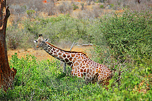 Giraffe In Its Natural Habitat Royalty Free Stock Images - Image: 15610319