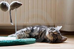 British Shorthair Kitten Royalty Free Stock Photography - Image: 15617077