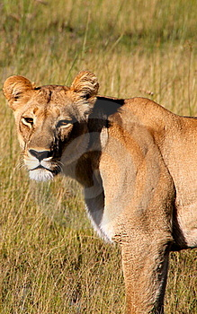 Close Up Of Lioness Stock Image - Image: 15619911