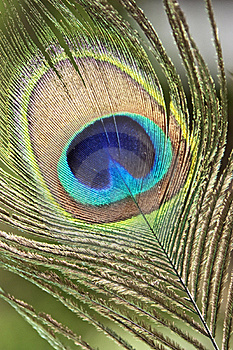 Peacock Feather Background Stock Image - Image: 15624331