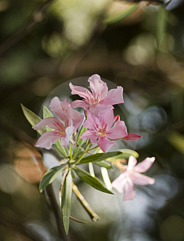 Oleander Heights Royalty Free Stock Photography - Image: 15625697