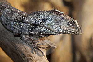 Frilled Lizard  Stock Image - Image: 15626281