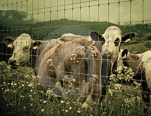 Cows In Barn. Stock Image - Image: 15626991