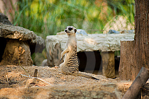 Meerkat Stock Photo - Image: 15631040