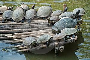 Large Aquatic Turtles Stock Photography - Image: 15631102