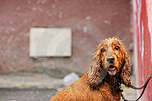 Wet Dog Royalty Free Stock Photos - Image: 15641048