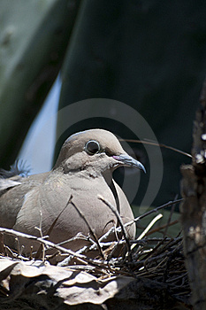 Mourning Dove Zenaida Macroura Royalty Free Stock Photos - Image: 15642048