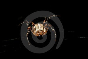 Cross Spider (Araneus Diadematus) Attacking Stock Image - Image: 15642681