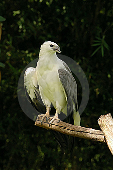 White-bellied Sea Eagle Stock Images - Image: 15644574