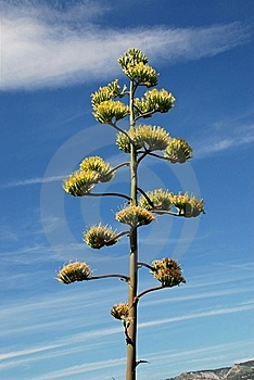 Flowers Of The American Agave Plant Royalty Free Stock Photos - Image: 15645478