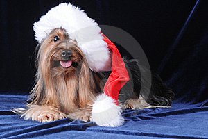 Yorkshire Terrier In Santa Claus Hat Stock Photos - Image: 15651303