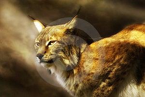 European Lynx  (lynx Lynx) Royalty Free Stock Photography - Image: 15654217