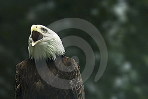 Screaming Bald Eagle Royalty Free Stock Photography - Image: 15655187