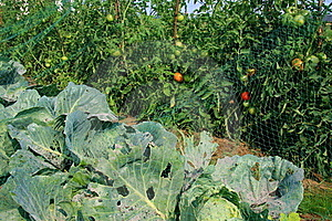 Cabbage And Tomato Beds Royalty Free Stock Photography - Image: 15656157