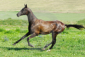 Black Akhal-teke Stallion Run Gallop Stock Photos - Image: 15656623