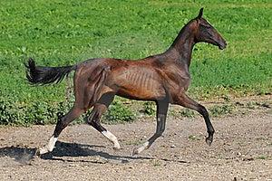 Bay Akhal-teke Stallion Trot Stock Image - Image: 15656651