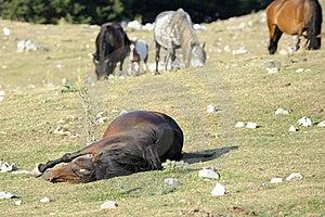 Wild Horse Sleep Royalty Free Stock Image - Image: 15658106