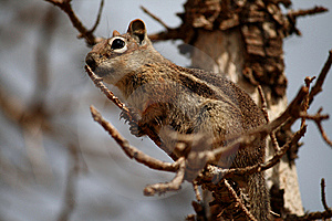 Golden-mantled Ground Squirrel Stock Photo - Image: 15662740