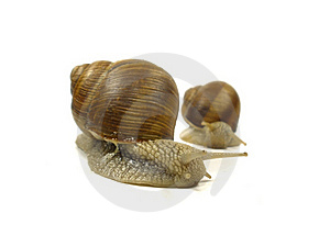 Two Grape Snail Stock Photo - Image: 15665600
