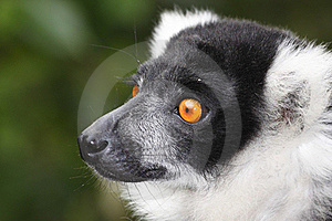 Lemur Stock Photo - Image: 15666150