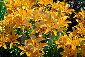 Lily Stock Image - Image: 15668121