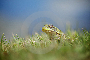 Frog Royalty Free Stock Images - Image: 15669949
