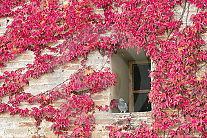 Japanese Creeper In Autumn Royalty Free Stock Photography - Image: 15670607