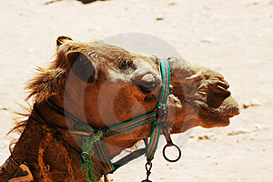 Camel Face Royalty Free Stock Image - Image: 15673226