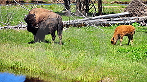 Bison & Calf. Yellowstone National Park Stock Photography - Image: 15674582