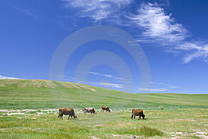 Cattle In Summer Meadow Royalty Free Stock Image - Image: 15680076