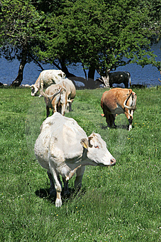 Cattle. Royalty Free Stock Photos - Image: 15681208