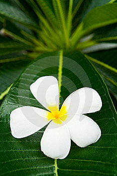 Lan Thom Flower Royalty Free Stock Images - Image: 15681719